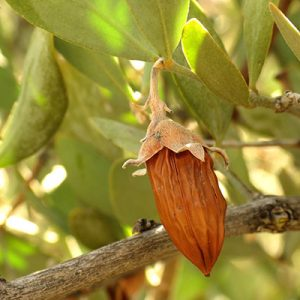 jojoba nut on the tree